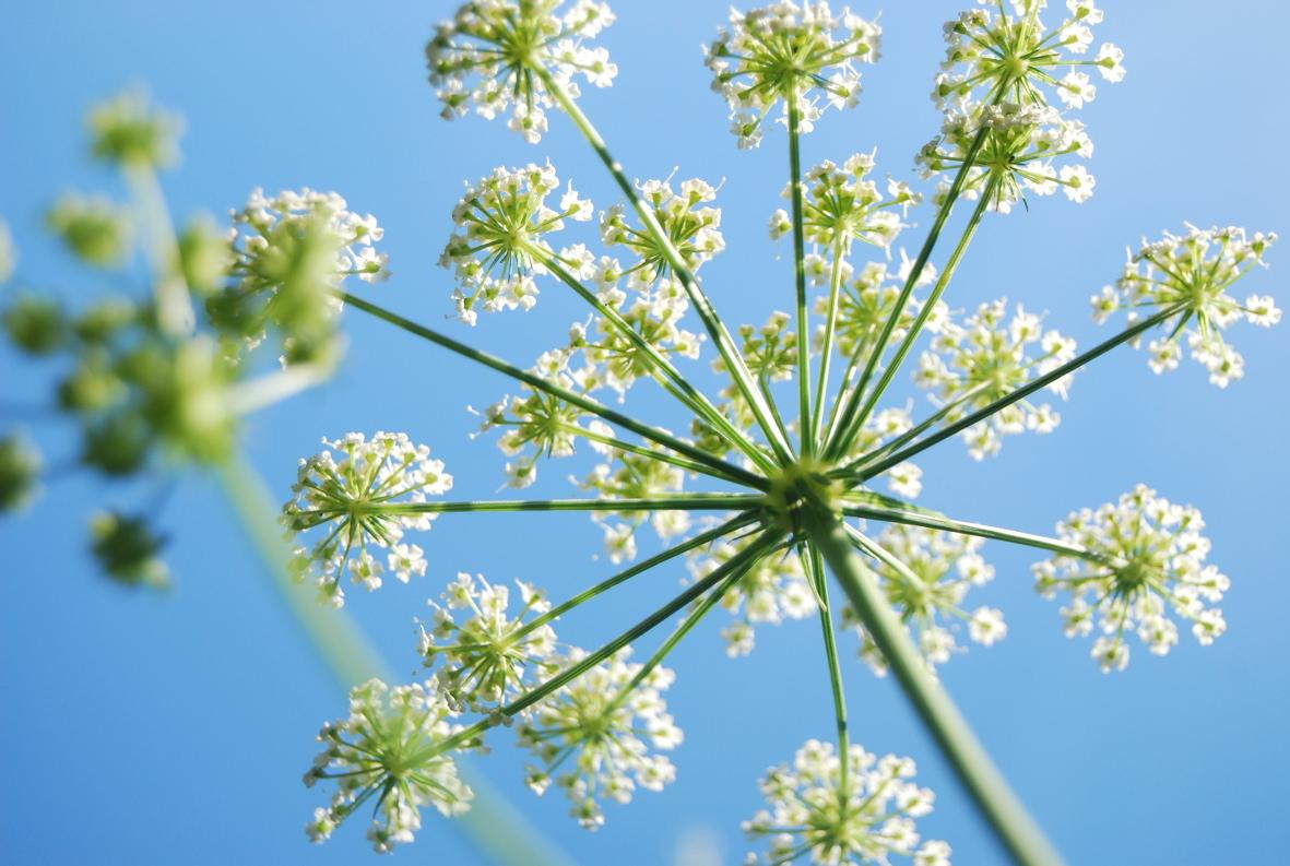 Blume_web